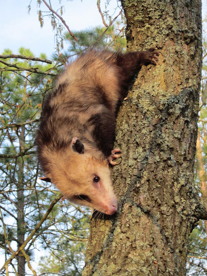 Opossum Photograph - Brer Possum by David Sutter