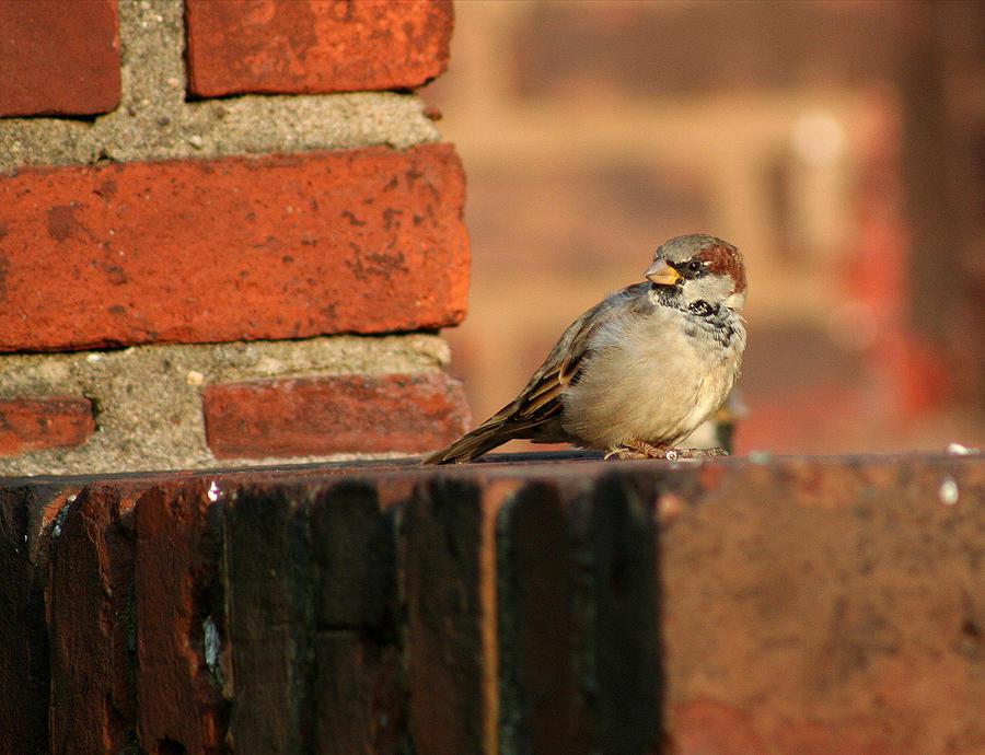 Bird Photograph - Brick And Bird by Jason Hochman