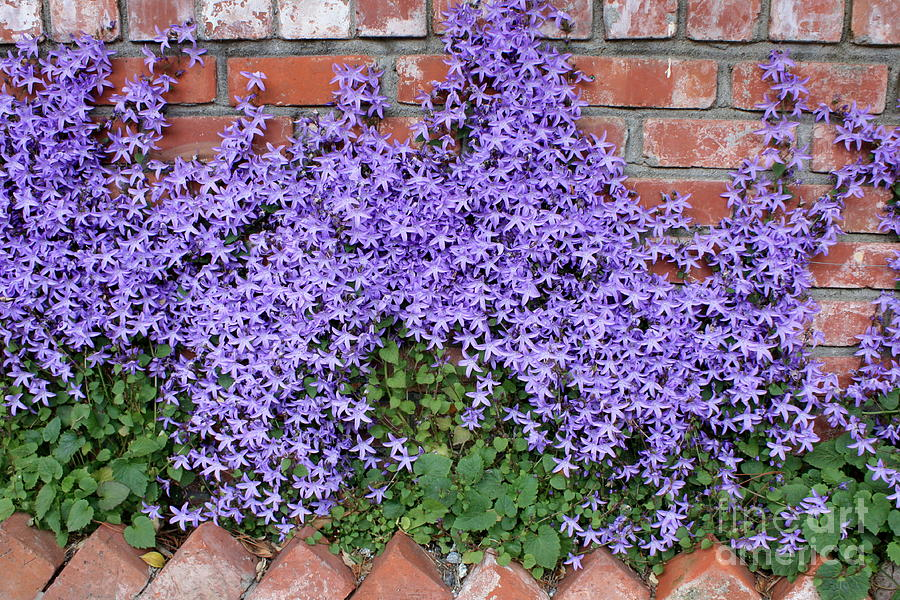 Blue Flowers Photograph - Brick Wall With Blue Flowers by Carol Groenen