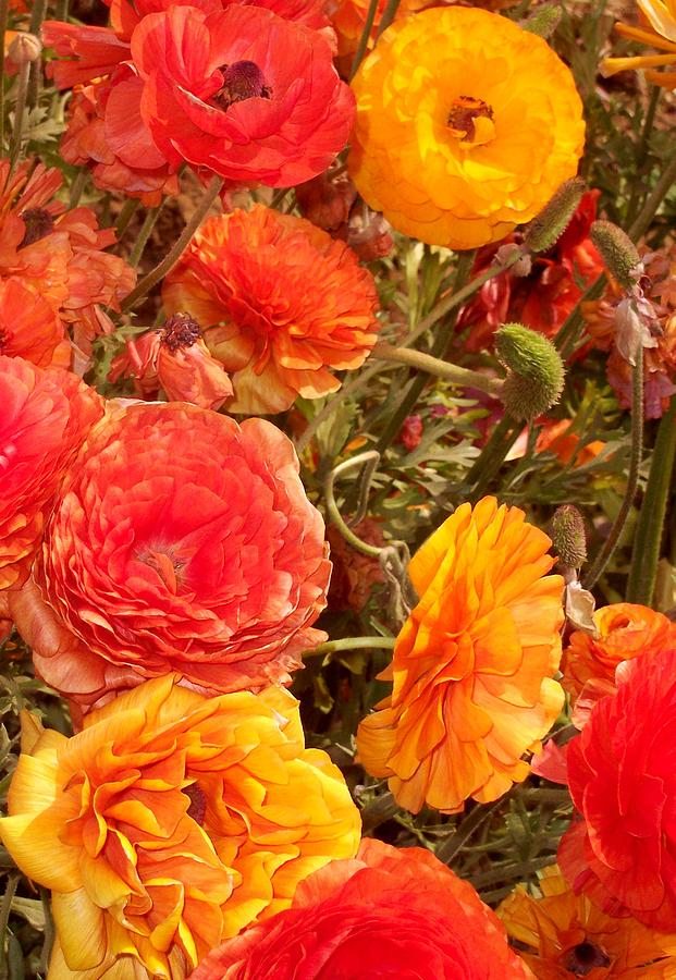 Ranunculus Photograph - Bright And Sunny by Jean Booth