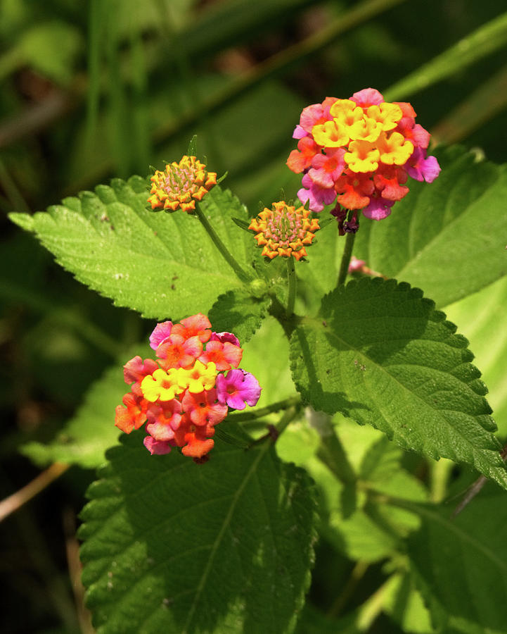 Bright Cluster of Lantana Flowers by Vincent Billotto
