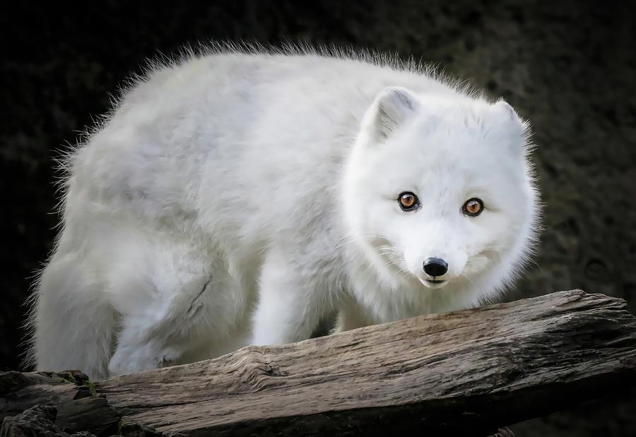 Bright Eyed White Fox Photograph