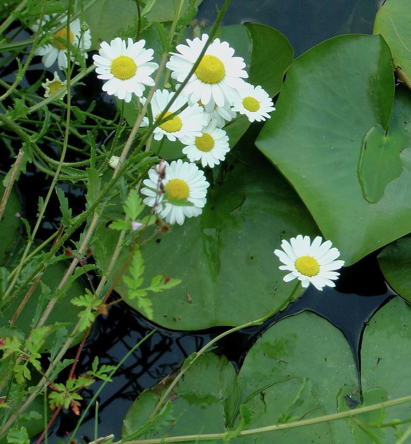 White Flowers Photograph - Bright Eyes by Rayne Van Sing