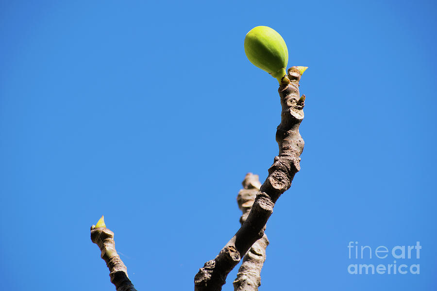 Blue Photograph - Bright Fig Against The Sky. by Cesar Padilla