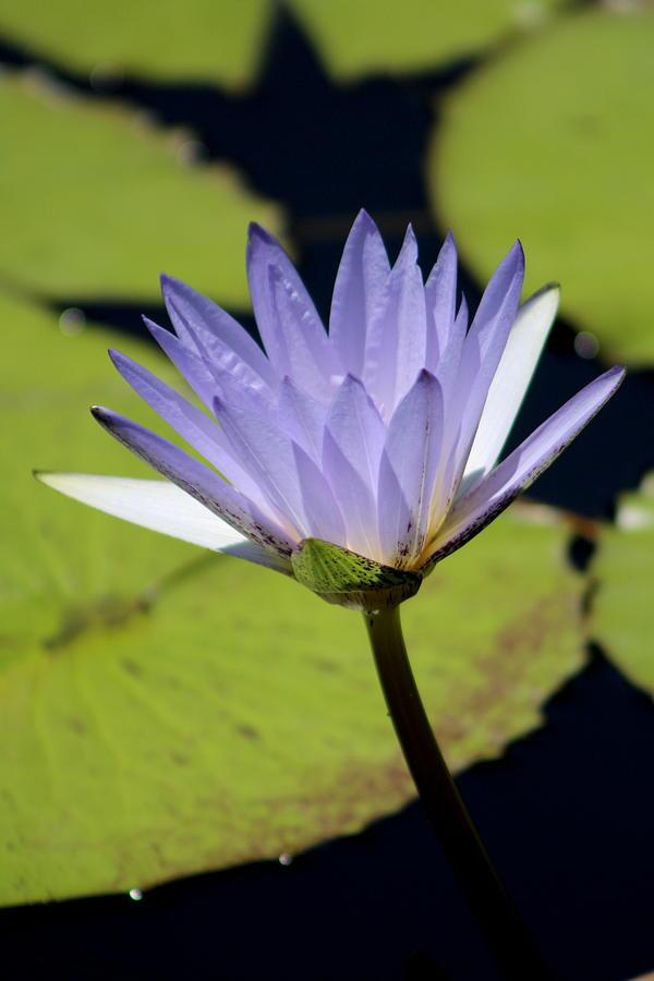 Bright Jacaranda Blue Lotus Flower Photograph By Colleen Cornelius