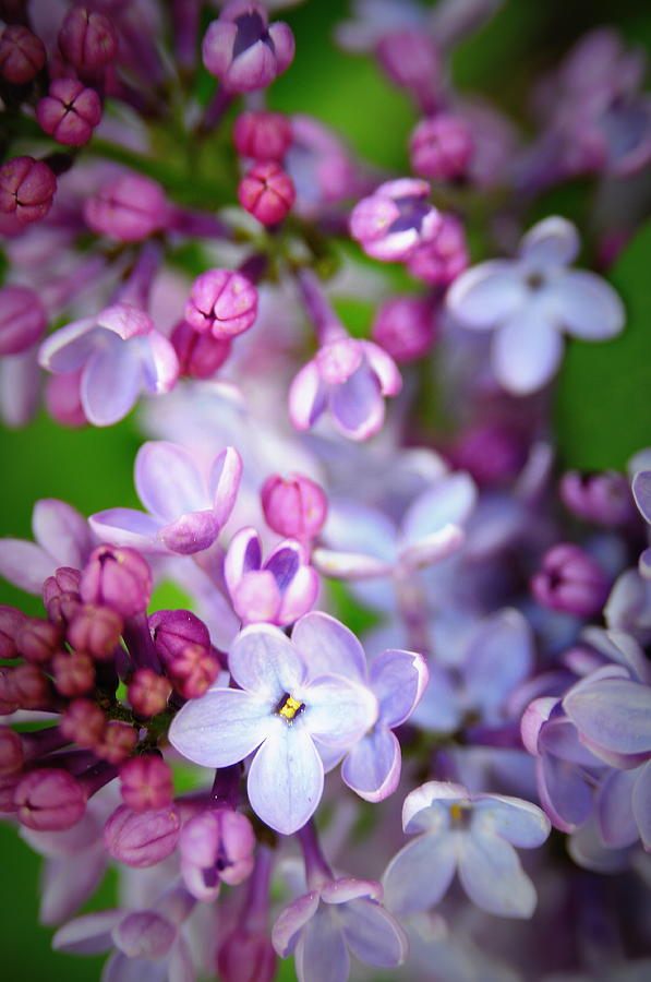 Lilac Photograph - Bright Lilacs by The Forests Edge Photography - Diane Sandoval