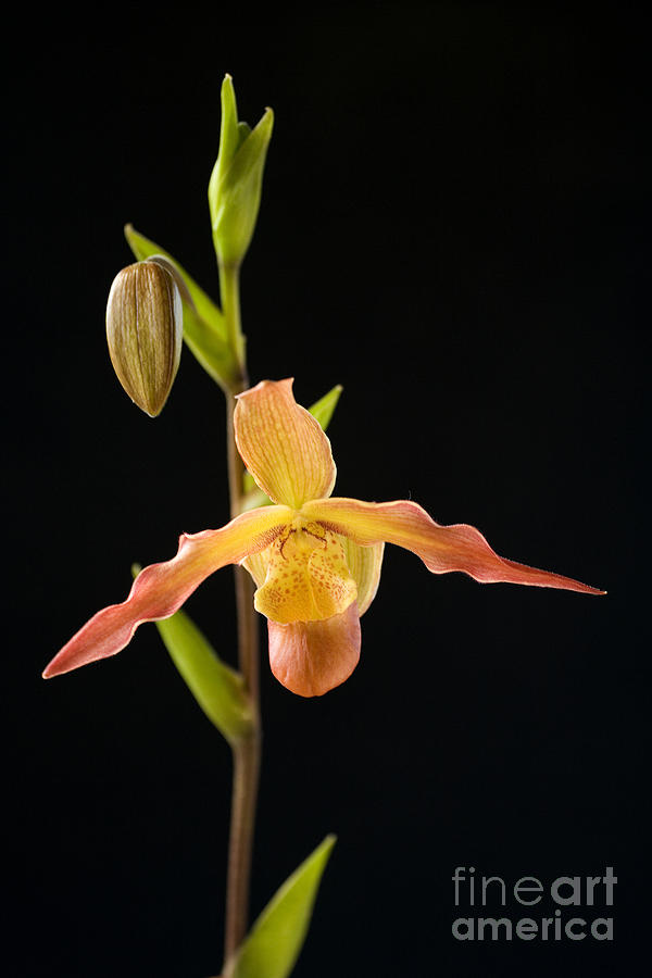 Black Photograph - Bright Orchid by Ron Dahlquist - Printscapes