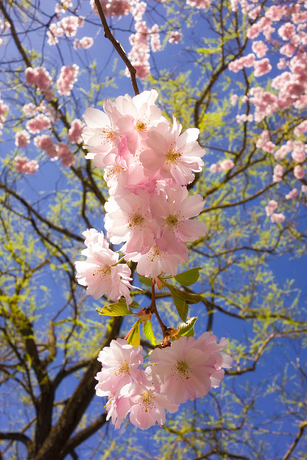 Bright Pink Blossoms In Spring Photograph