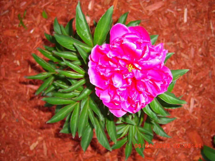 Bright pink perennial flower photograph by peggy gagnon mightylinksfo
