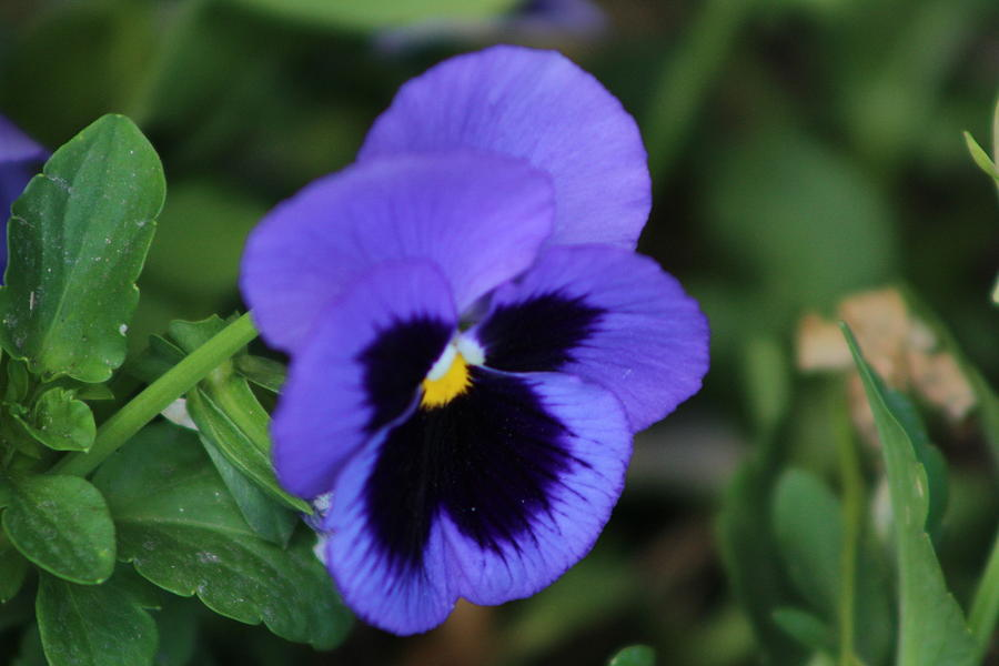 Pansy Photograph - Bright Purple Pansy by Colleen Cornelius