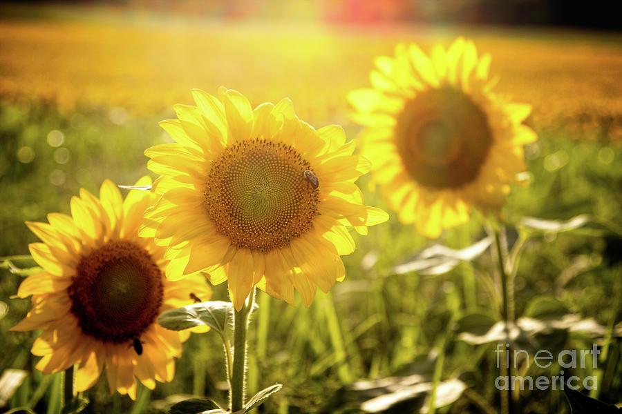 Bright Sunflower Trio Photograph