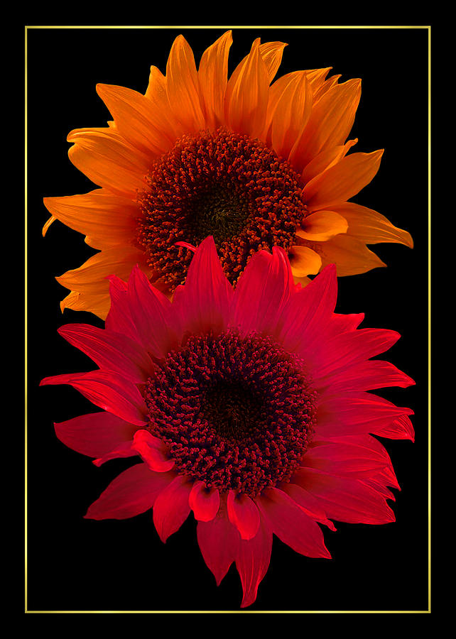 Sunflowers Photograph - Bright Sunflowers by Michael and Diane Duhaime