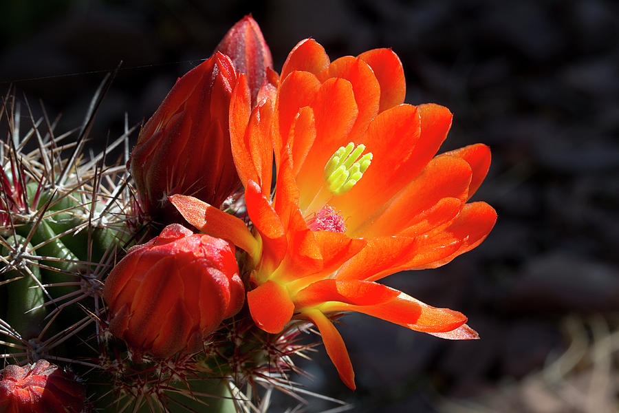 Flower Photograph - Bright Tangerine Cactus Flower by Phyllis Denton