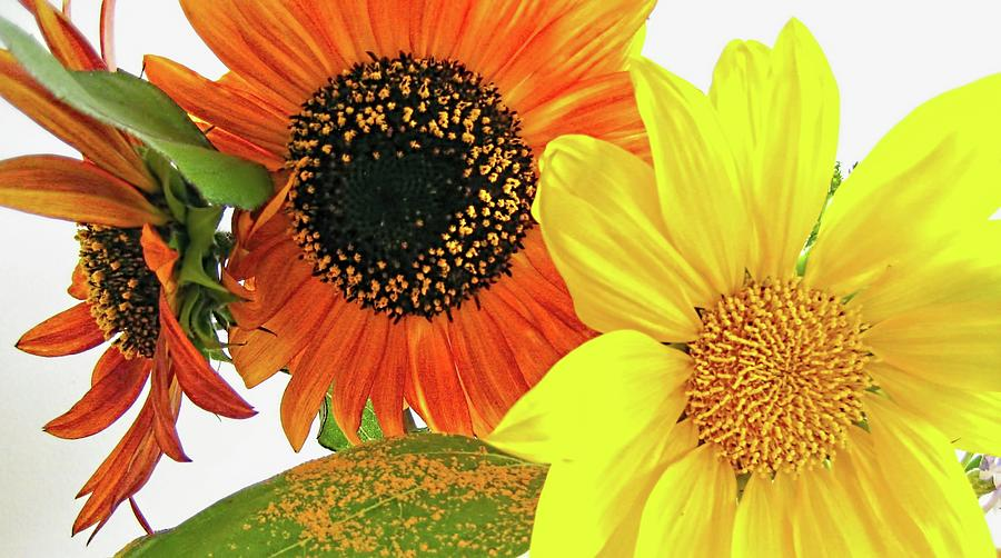Sunflower Photograph - Bright Trio by Kathy Bassett