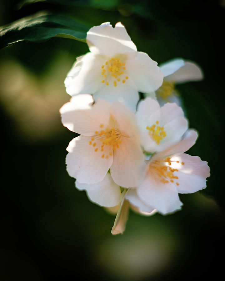 Bright White Blossoms by Pamela Taylor