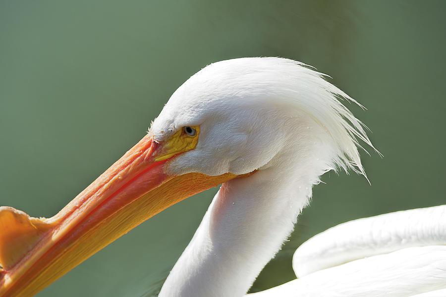 Beak Photograph - Bright White Pelican by Bud Bartnik
