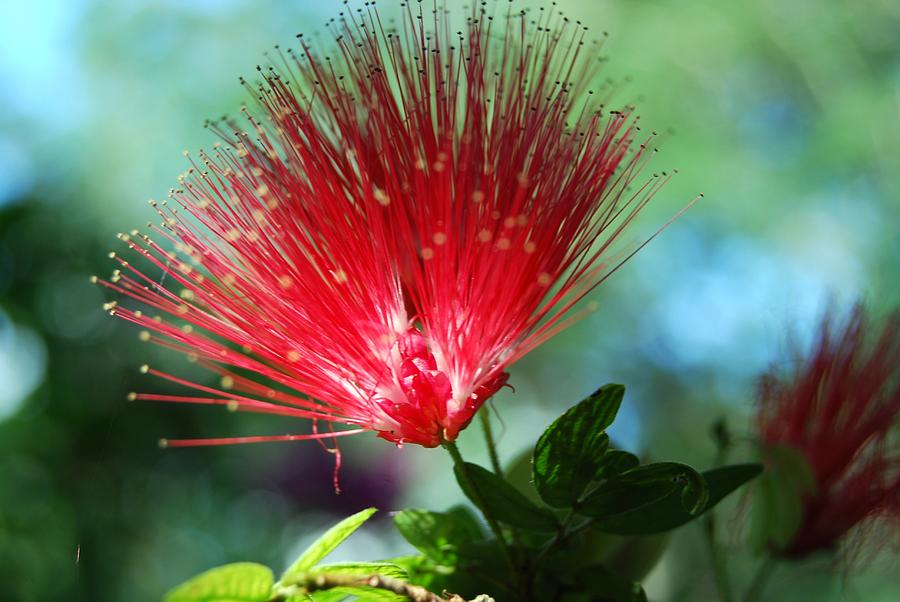 Flower Photograph - Brilliance by Peter  McIntosh