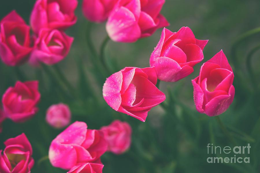 Brilliant Blooms Skagit Tulip Festival Photograph