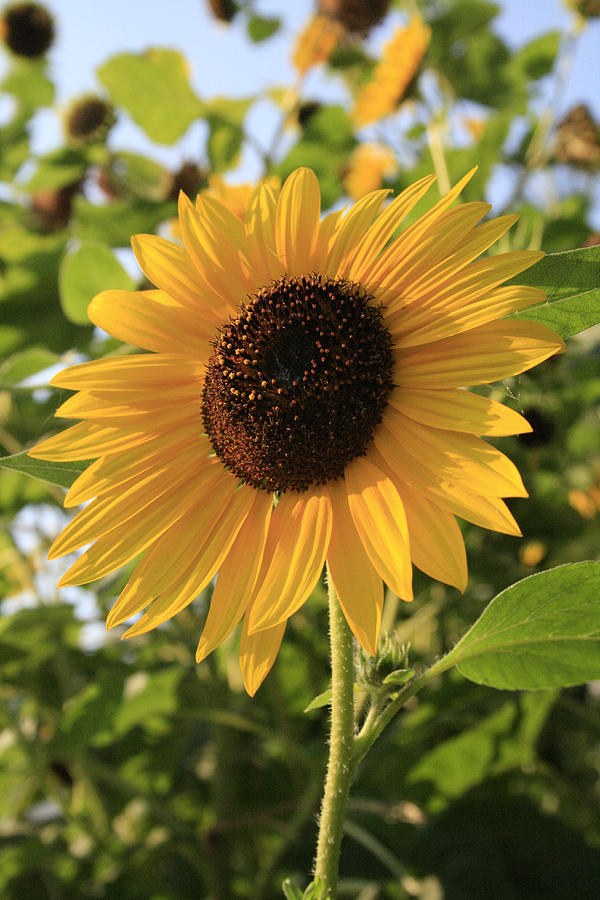 Sunflowers Photograph - Brilliant By Association by Alan Rutherford