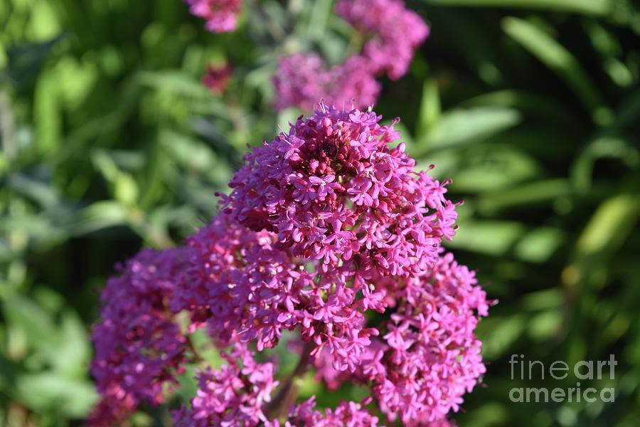 Phlox Photograph - Brilliant Pink Blooming Phlox Flowers In A Garden by DejaVu Designs