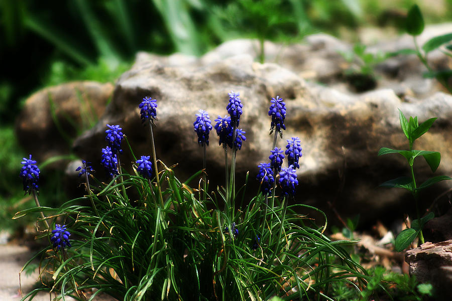 Flowers Photograph - Bring on the purple by Toni Hopper