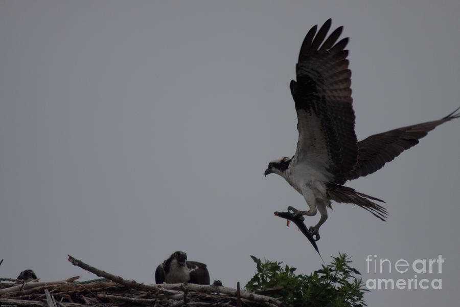 Ospreys Photograph - Bringing Home Breakfast by David Bishop