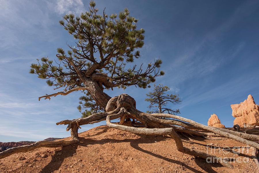 Ancient Photograph - Bristle Cone Tree by Juli Scalzi