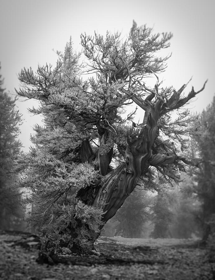 Bristlecone Beauty by Dusty Wynne