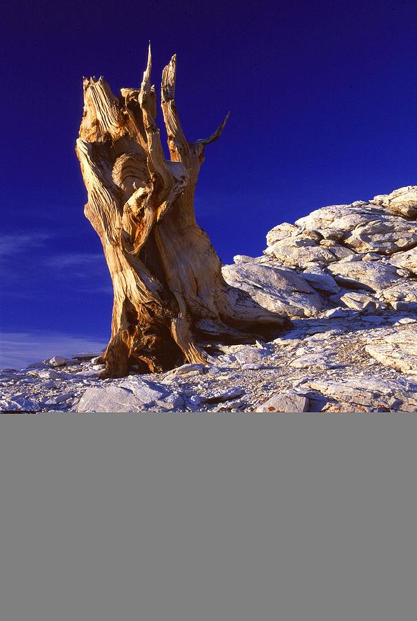 California Photograph - Bristlecone by Eric Foltz