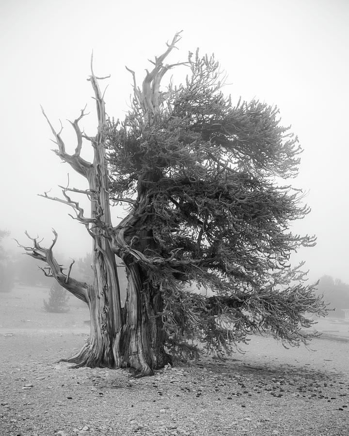 Bristlecone Mist by Dusty Wynne