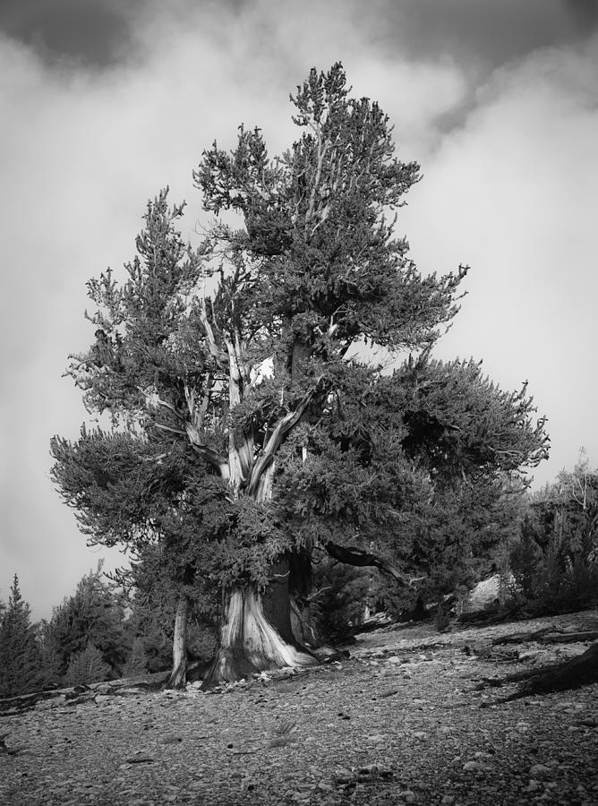 Bristlecone Pine by Dusty Wynne