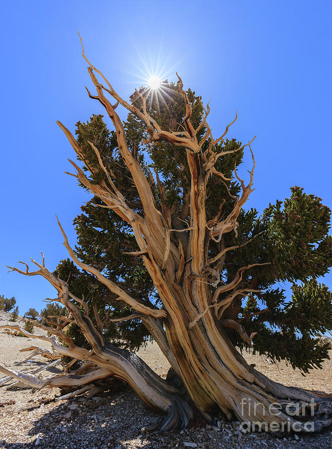 Bristlecone Pine Forest Photograph