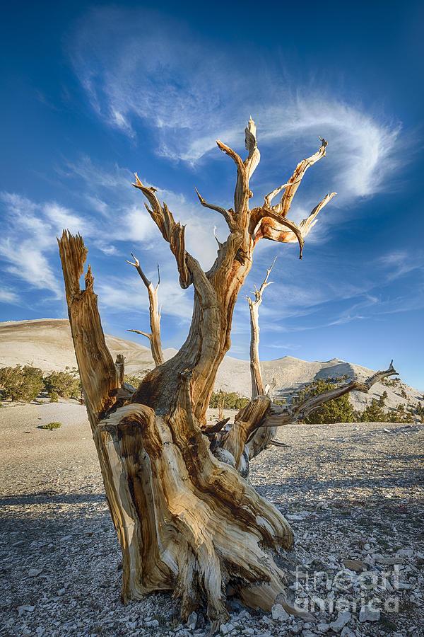 Bristlecone Pine Photograph