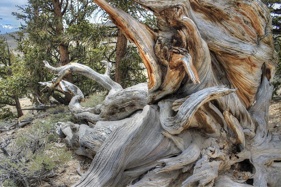 Bristlecone Pine Wood Knarled Alpine Tree Ancient Photograph By