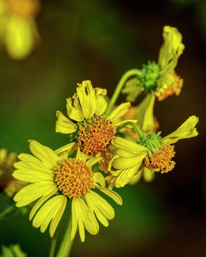 Brittlebush Flowers V1823 Photograph