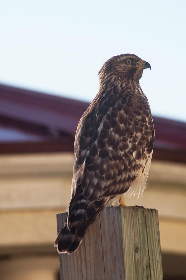 Broad-winged Hawk Photograph