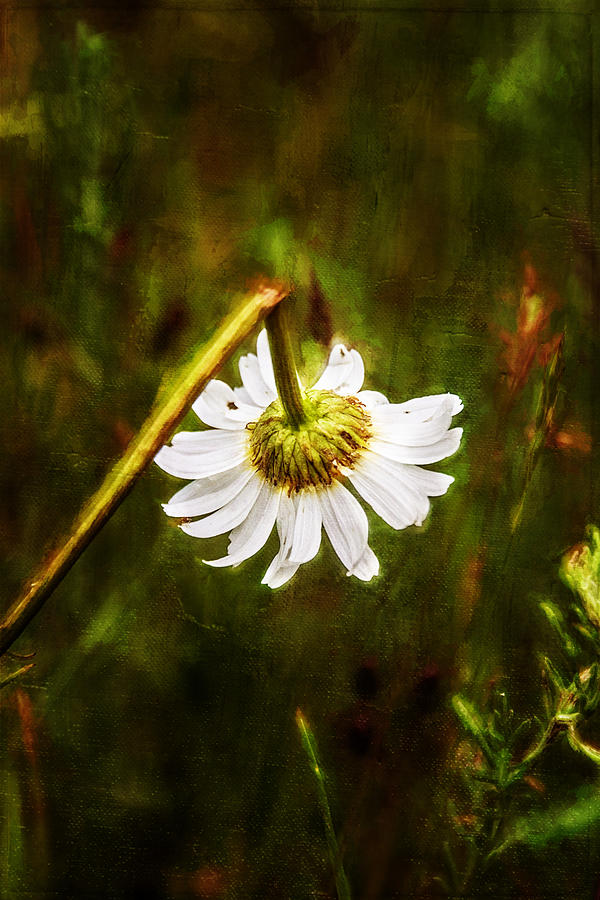Daisy Painting - Broken Hearted Oxeye Daisy Asteraceae  by Christina VanGinkel