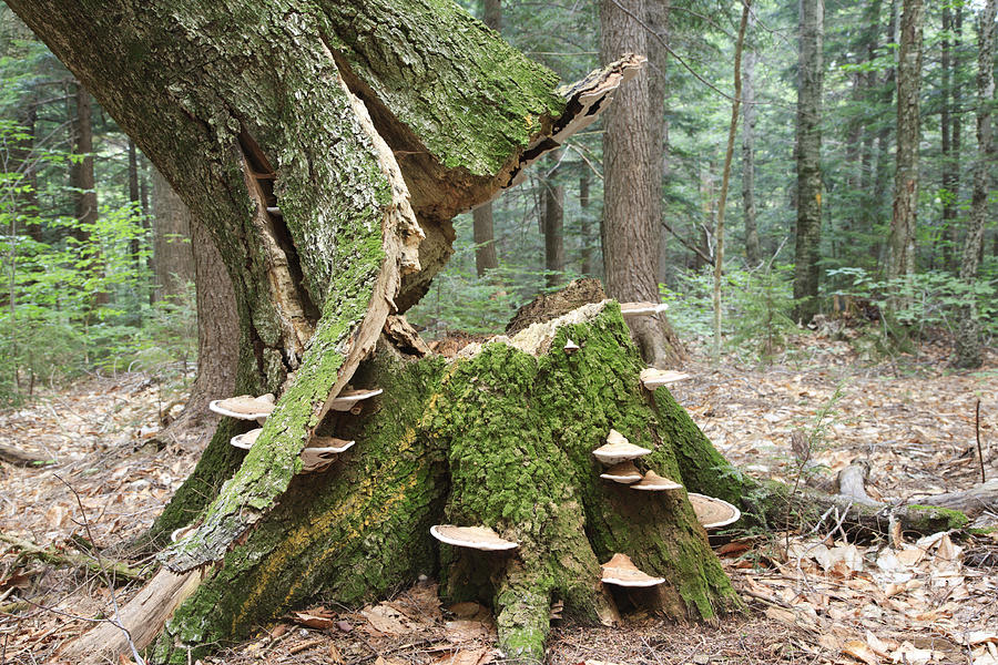Broken Tree Trunk White Mountains New Hampshire