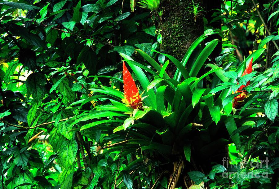 El Yunque National Forest Photograph - Bromeliads El Yunque  by Thomas R Fletcher