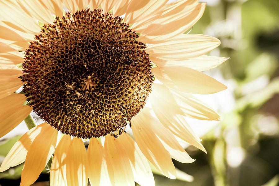 Beautiful Photograph - Bronze Sunflower by Howard Roberts