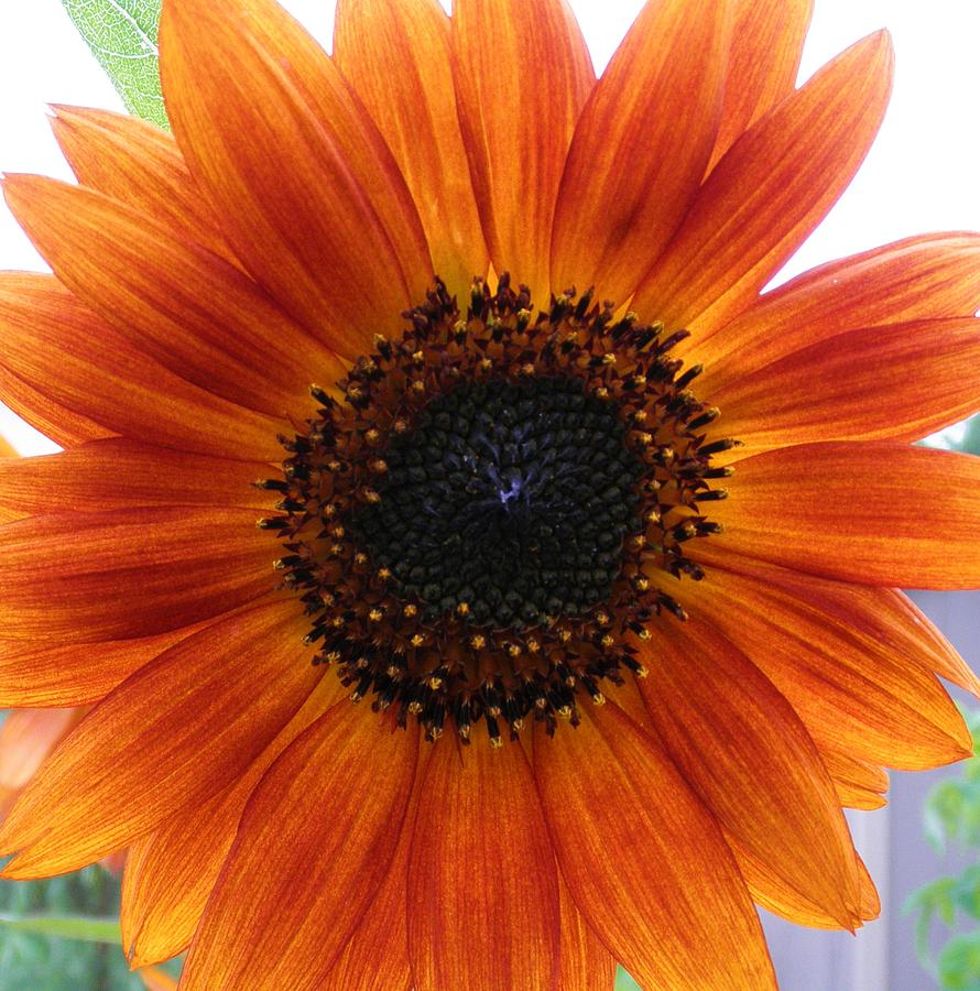 Flower Photograph - Bronze Sunflower No 2 by Jeanette Oberholtzer