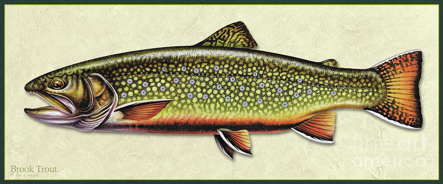 Brook Trout ID by Jon Q Wright