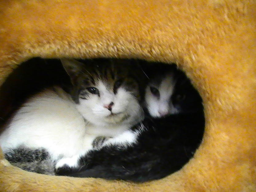 Animal Shelter Kittens Photograph - Brotherly Love by Pat Nalls
