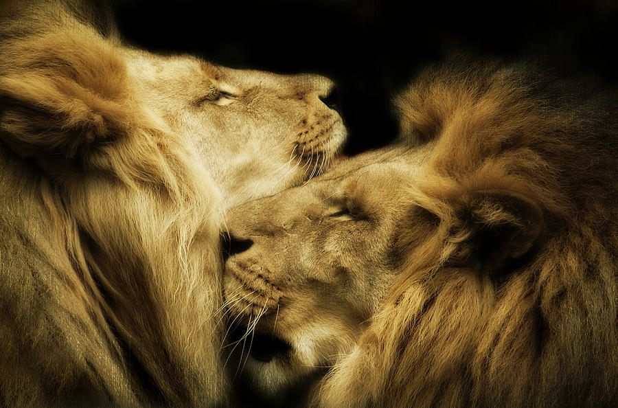 Lion Photograph - Brothers by Animus  Photography