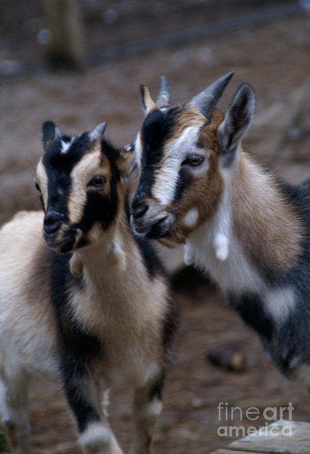 Goat Photograph - Brothers by Linda Shafer