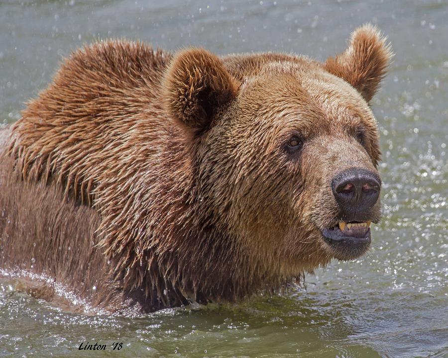BROWN BEAR 10 by Larry Linton