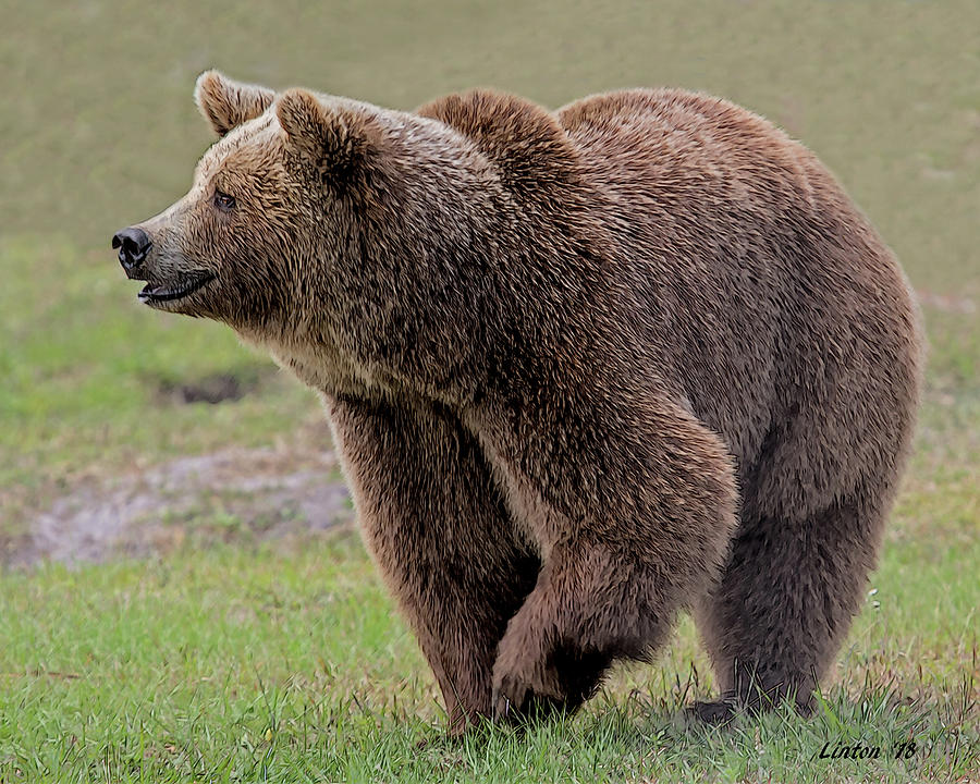 BROWN BEAR 14.5 by Larry Linton