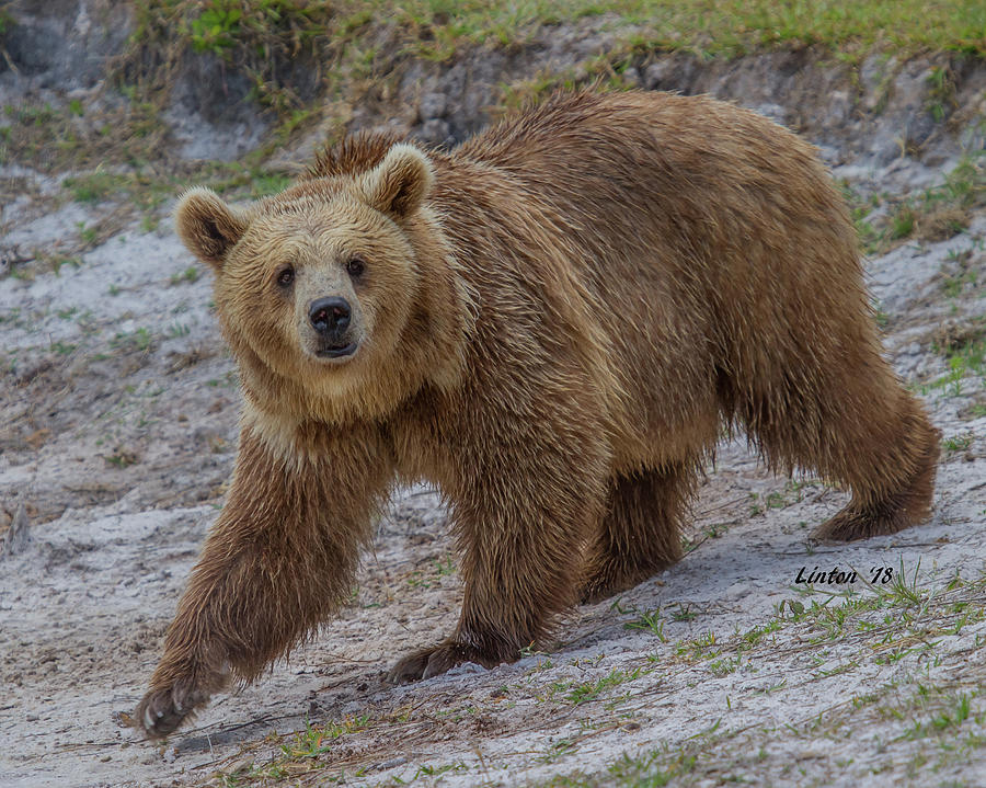 BROWN BEAR 3 by Larry Linton