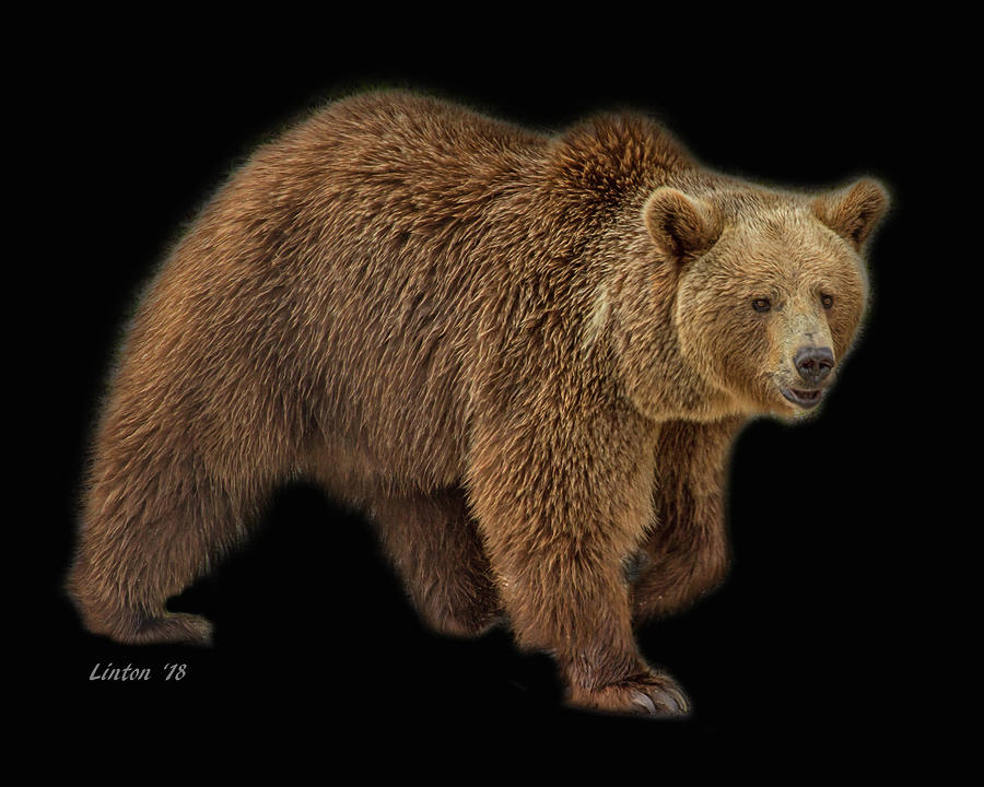 BROWN BEAR 5 by Larry Linton