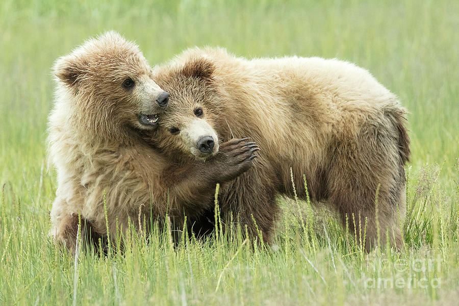 00486f1d Animal Photograph - Brown Bear Cubs Cuddling by Linda D Lester